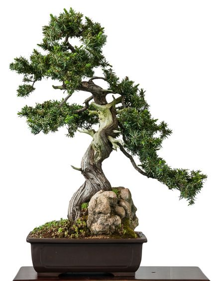 igelwacholder als bonsai bonsai b ume in 2018 pinterest bonsai bonsai baum und garten. Black Bedroom Furniture Sets. Home Design Ideas