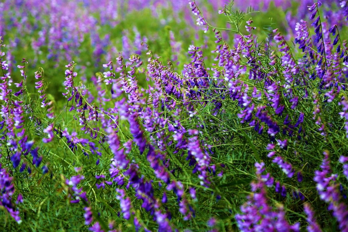 صورة عالية الدقة خالية من زهرة الربيع الطبيعة الأرجواني ملونة جميلة خضراء الأعشاب Plants Photo
