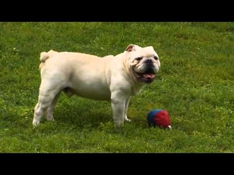 Nashville Area English Bulldog Breeder Jj Bulldogs English