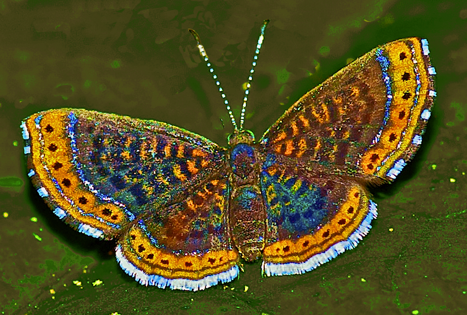 Pretty butterfly (Detritivora cleonus) #insects