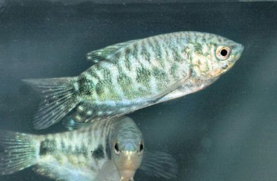 Opaline Gourami Aquarium Fish Opaline Fish Pet