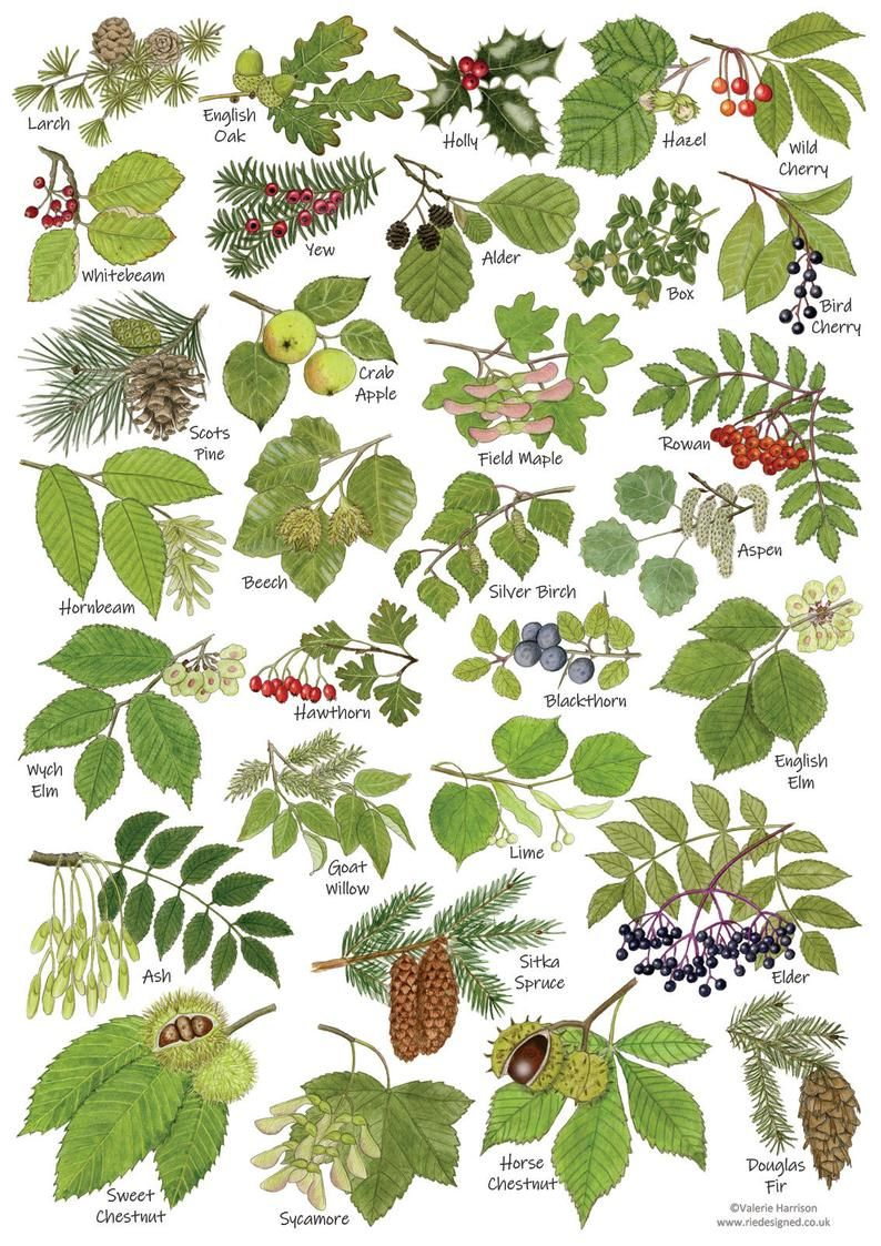 British Tree Leaves A4 Identification Chart Wildlife Card Nature Poster Art Print Ideal For Framing Tree Leaf Identification Leaf Identification Tree Id