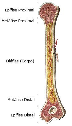 Estrutura Dos Ossos Longos Ossos Longos Anatomia Dos