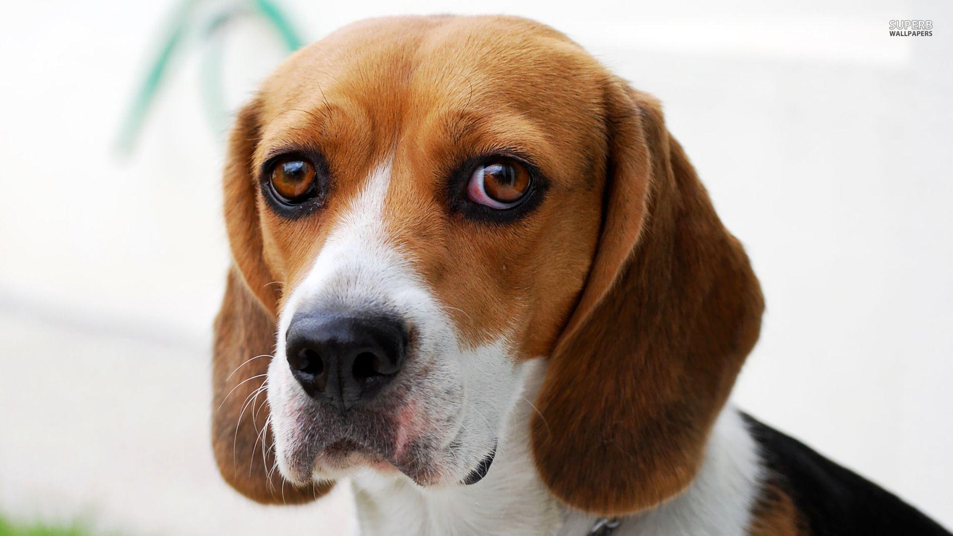 Beagle beagle wallpaper animal wallpapers 17943 i miss my beagle beagle wallpaper animal wallpapers 17943 voltagebd Images