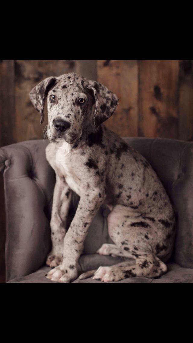 Cutie Dane Puppies Great Dane Puppy Dane Dog