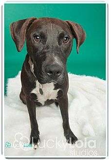 Columbus Oh Labrador Retriever Hound Unknown Type Mix Meet Rico Professionally Trained A Dog For Adoption Labrador Retriever Pets Dog Adoption
