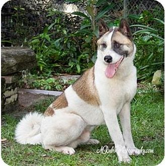 Shiloe Akita Rescue Society Of Florida Inc Jacksonville