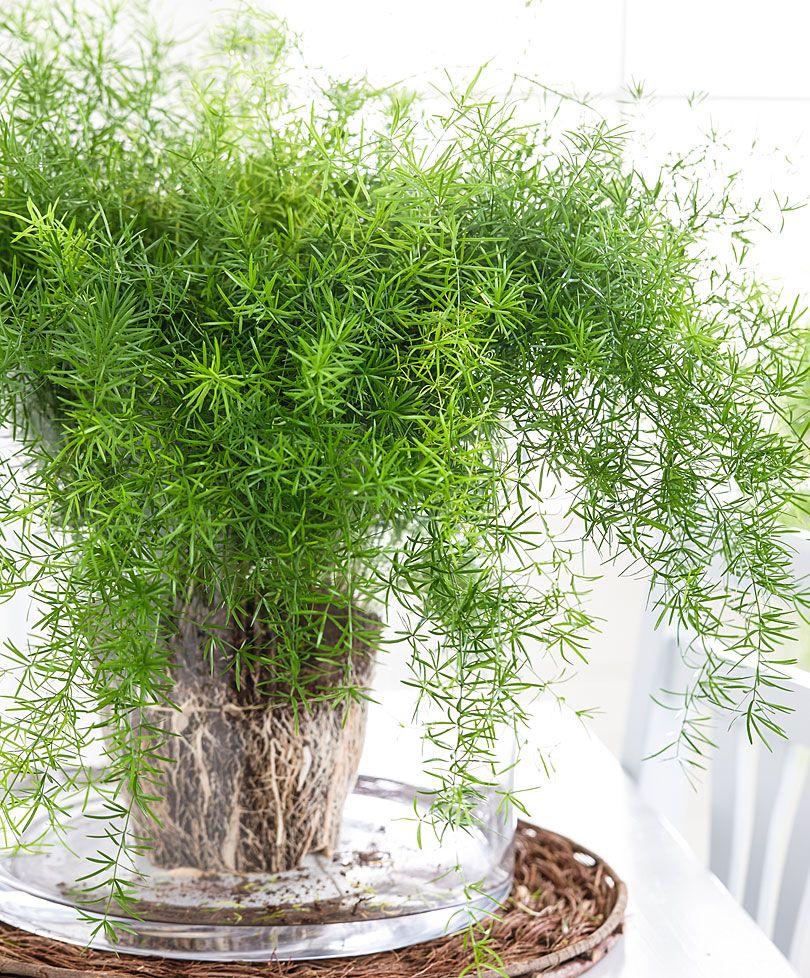 Picture of Live Asparagus Fern Sprengeri aka Asparagus densiflorus 'Sprengeri' Foliage Hanging Plant Fit  1 QRT Pot
