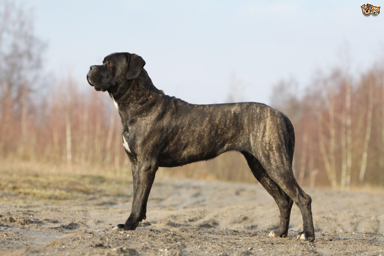 Cane Corso Corso dog, Cane corso, Cane corso dog