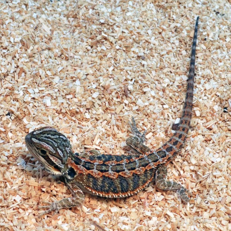 Reptile Pets Direct: High Orange Bearded Dragon   love my ...