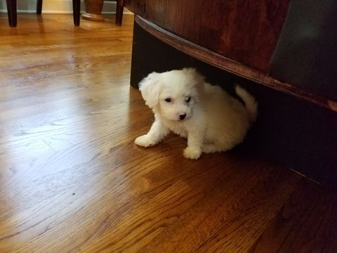 Bichon Frise Puppy For Sale In Memphis Tn Adn 32543 On