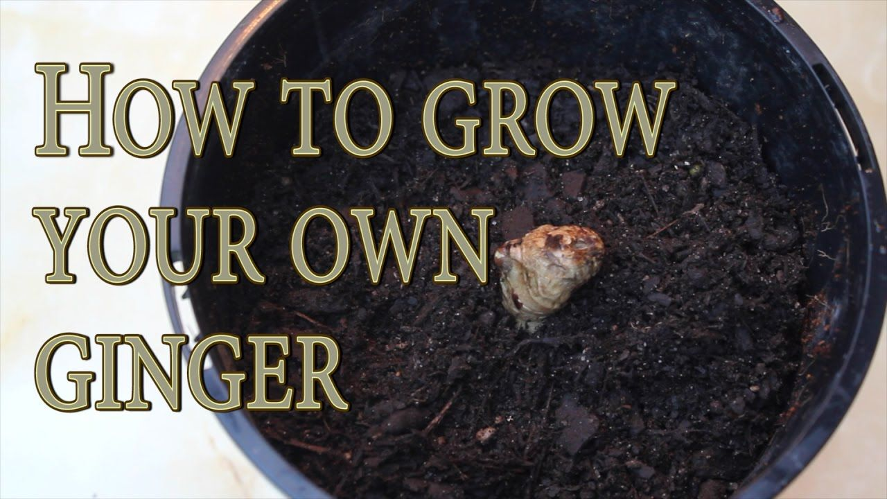 Growing ginger from store bought roots #gardening #garden #DIY #home #flowers #roses #nature #landscaping #horticulture