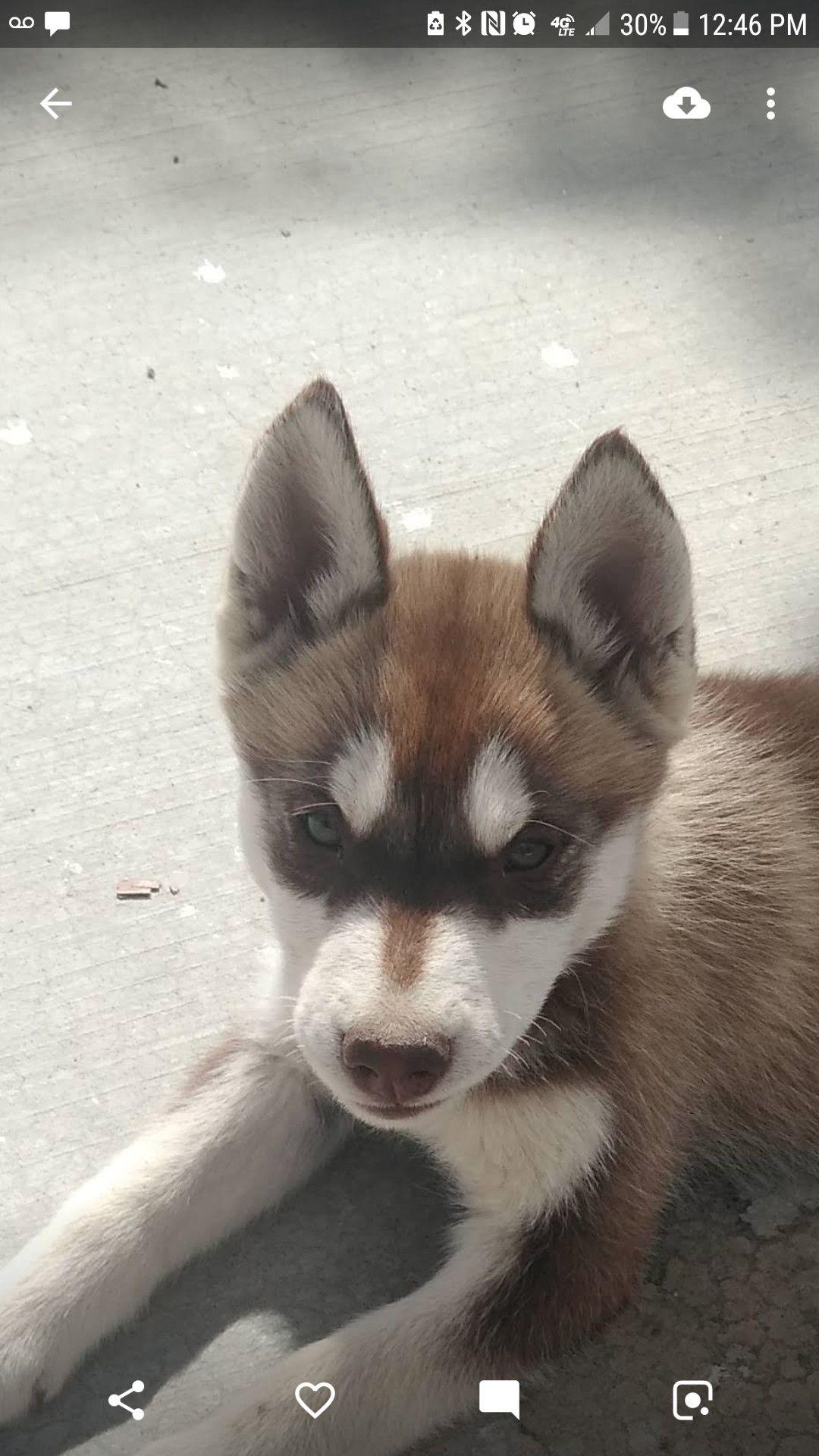 Adopt Rose On Pet Adoption Adoption Puppies