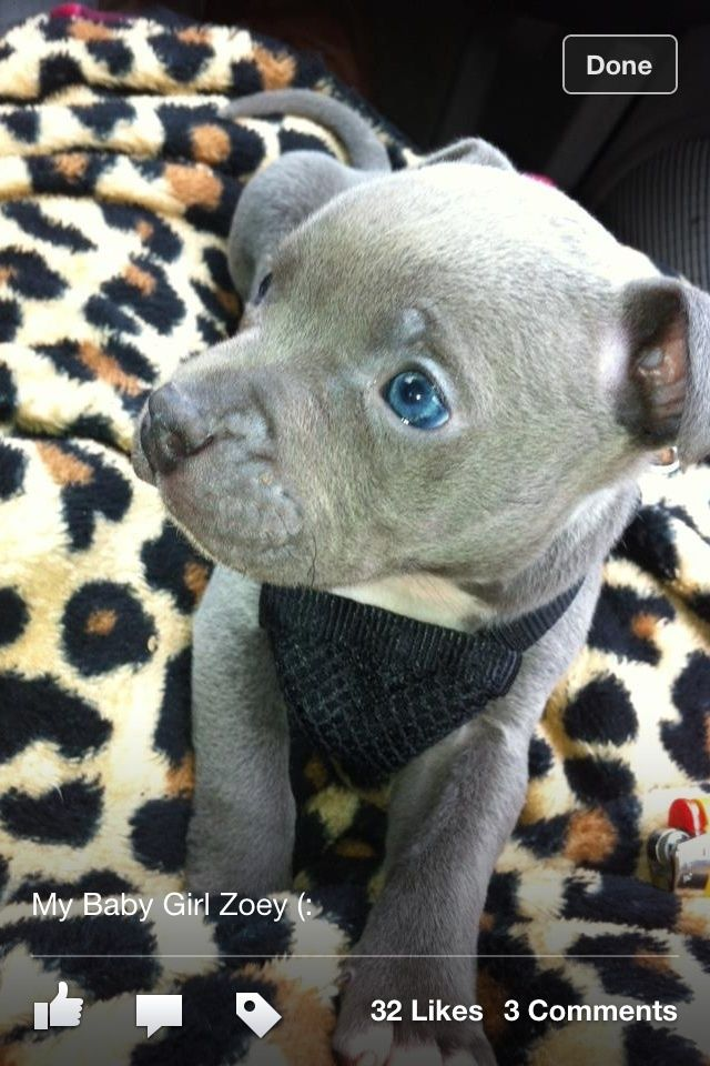 Pitbull Dogs Cute Pitbull Love Awareness Pinterest Pitbull