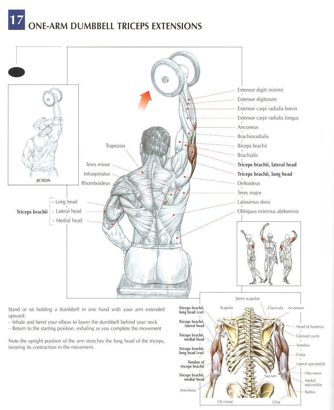 One Arm Dumbbell Extensions Anatomy Of A Workout Pinterest