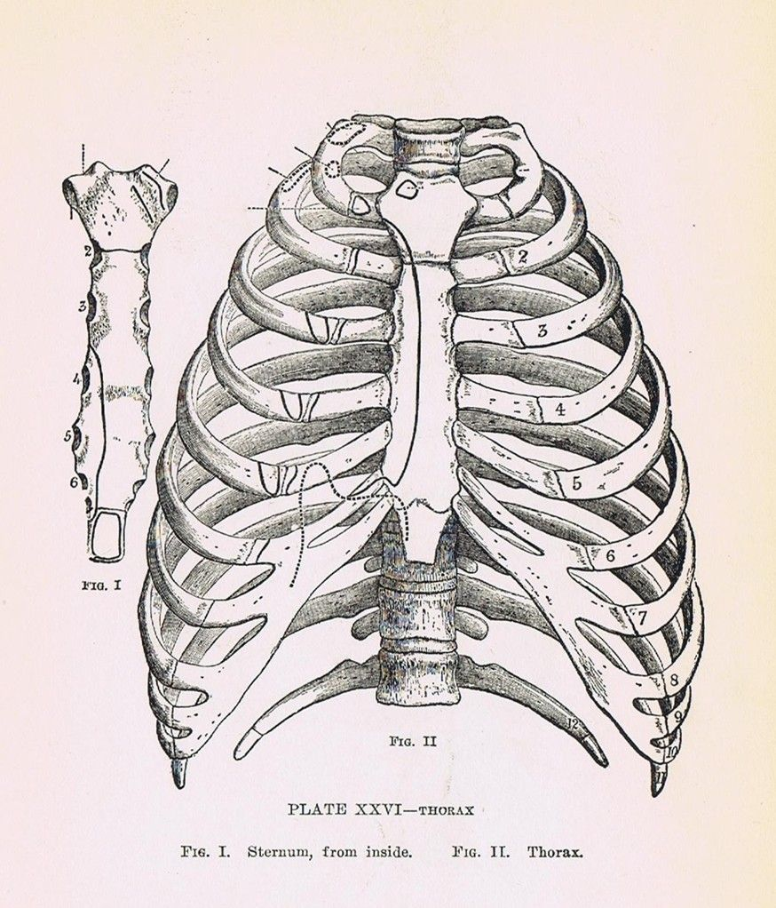 1919 Human Anatomy Print Pl Xxvi Thorax And Ribs Perfect For