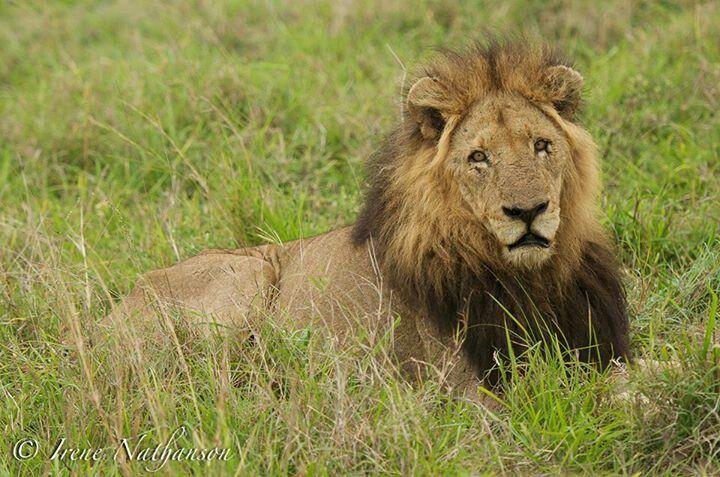 Makhulu Mapogo - Big Mak   Jopoes Cats   Wild lion, Lion, Hyena