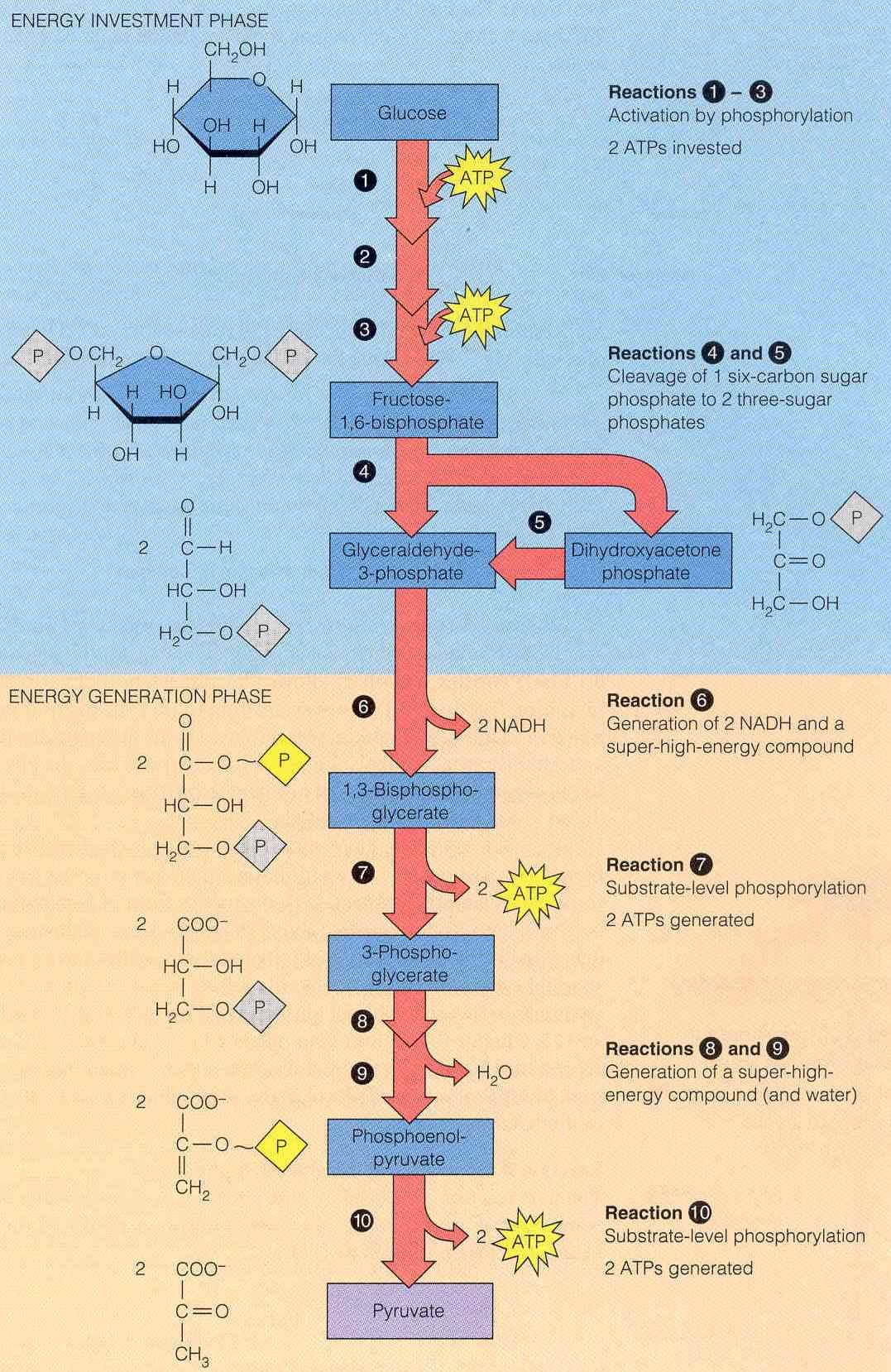 Glycolysis: takes place in the cytosol; first stage of glucose ...