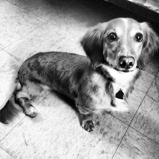 Black And White Sunday 4 Doxies Dachshund Dogs I Love
