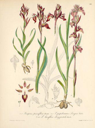 Serapias laxifloro-longipetala Barla  1868