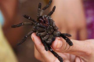 Araignées frites au Cambodge