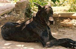 Great Dane A K A German Mastiff Or Danish Hound Denmark And