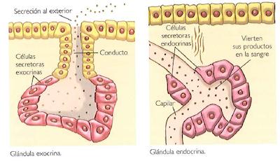 Exocrina y endocrina definicion