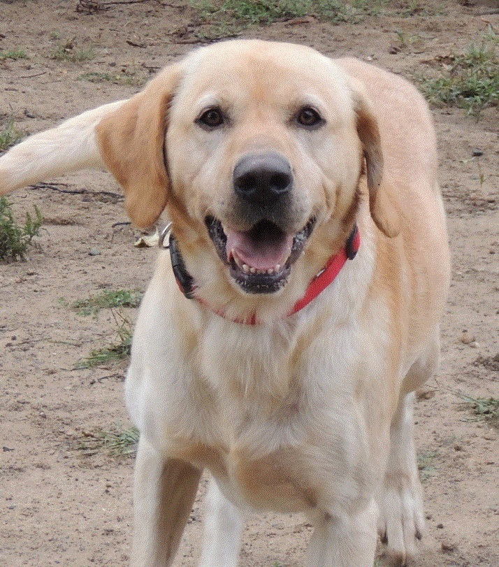 Max Yellow Lab Mix Male 5 years old Funloving Best for