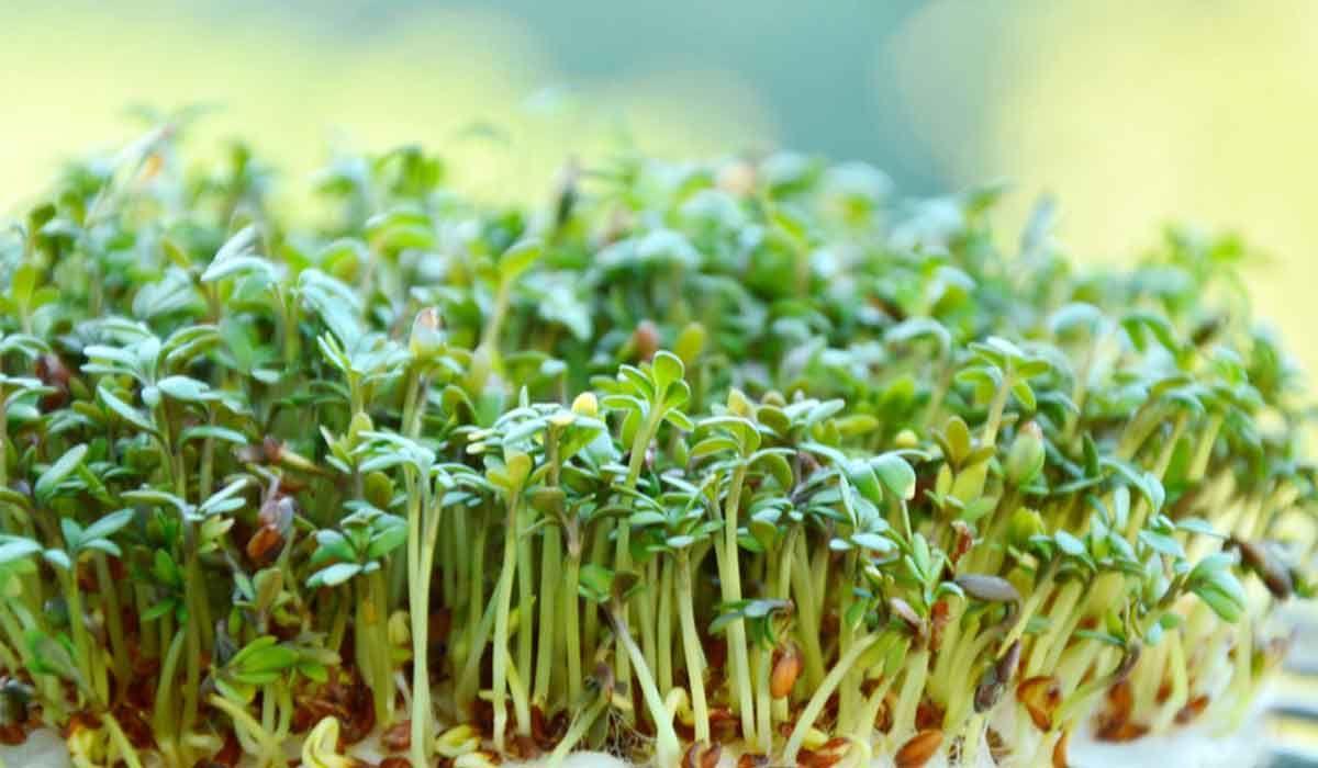 فوائد الرشاد للحامل Herbs Dill Parsley