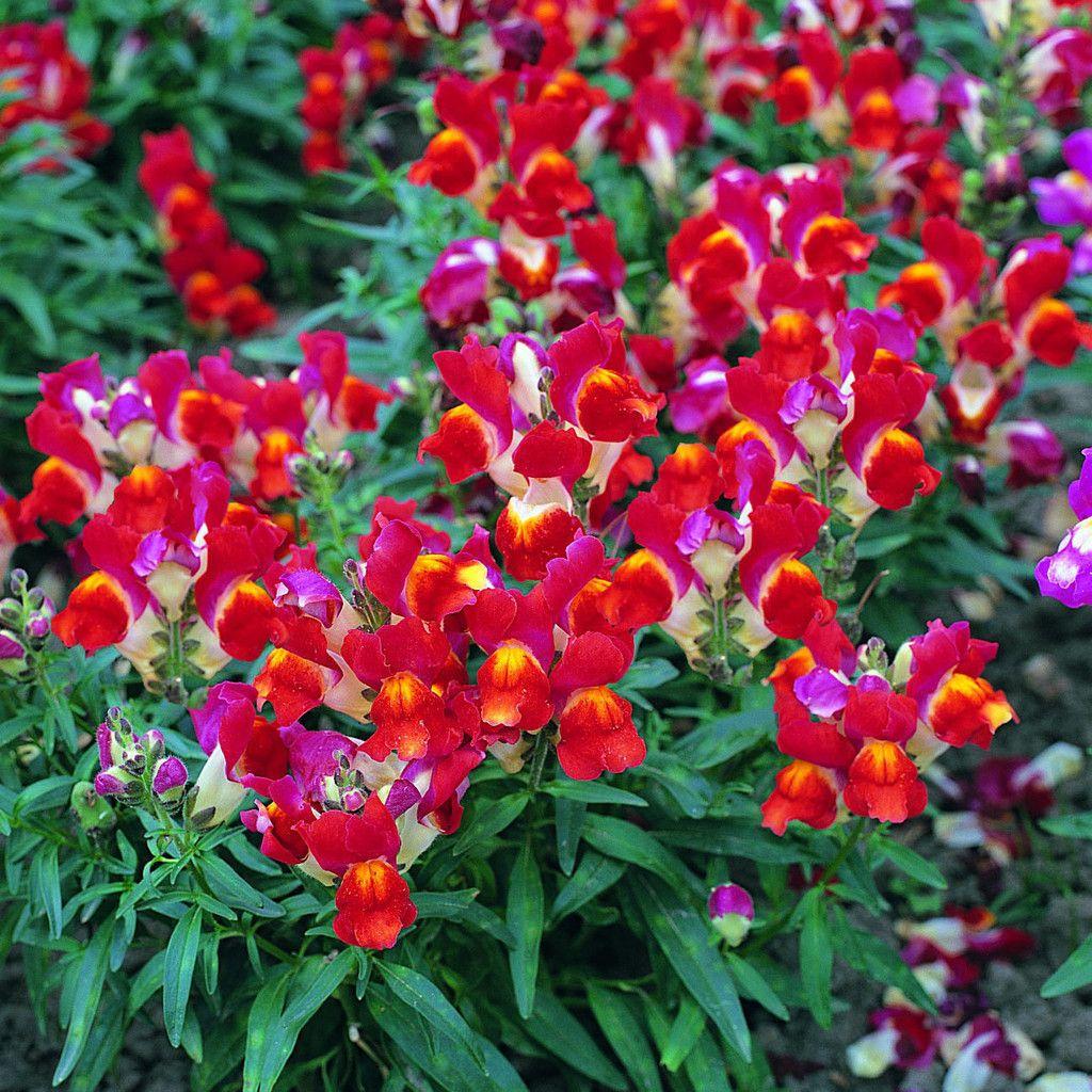 Bulk Snapdragon Seeds Silks Red & White Flower seeds