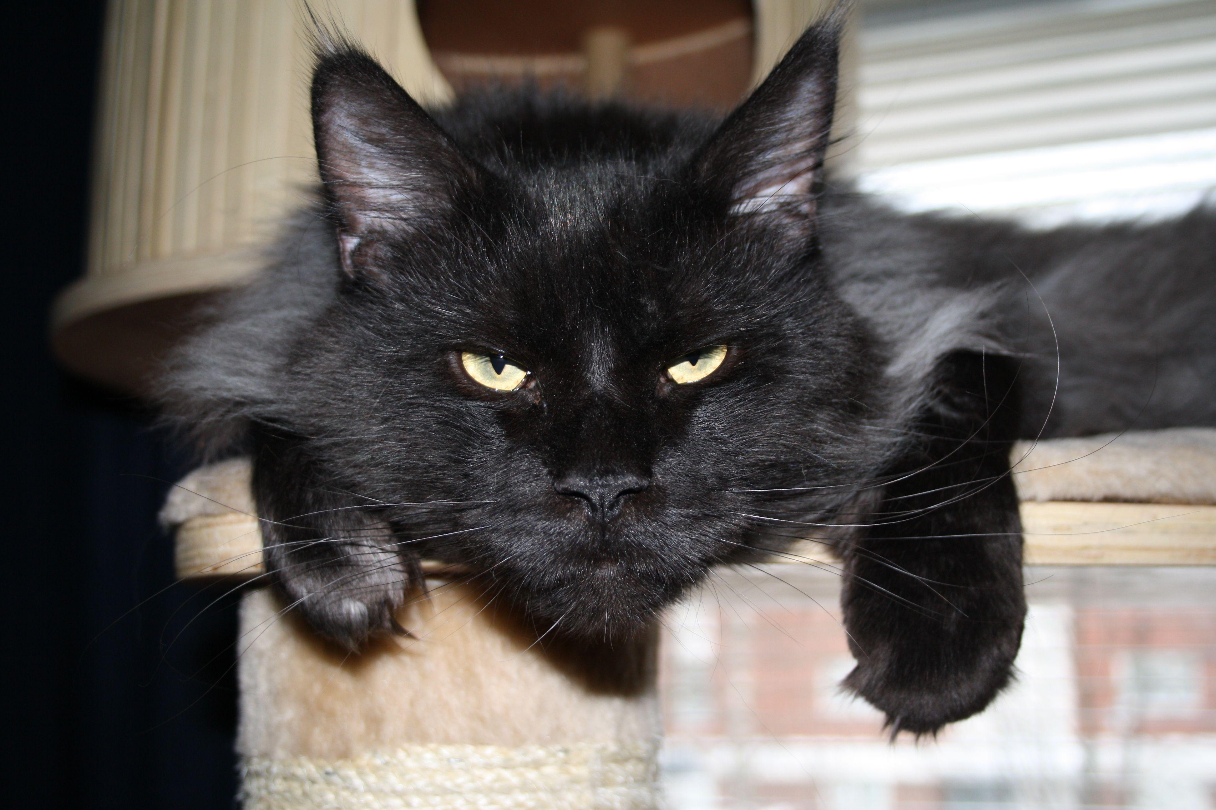 Pertti kiipeilytelineellä. Pertti on maine coon kissa.  Pertti is maine coon cat.