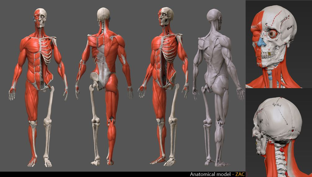 Human anatomy model | ETC | Pinterest | Human anatomy model, Anatomy ...