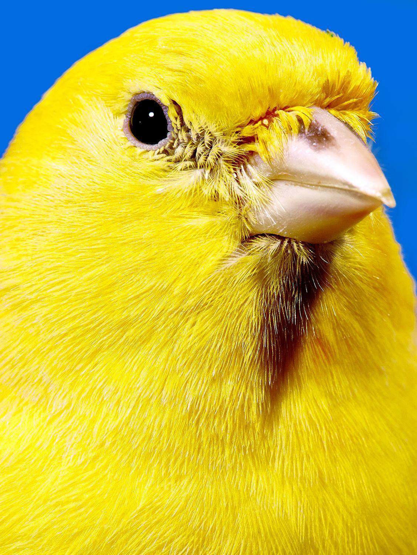 Canary Outtake For New York Magazine Animals Pet Birds Canary Birds