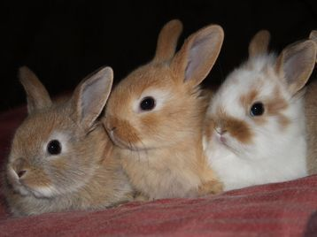 5 Baby Bunnies Ready On The 9th August North London Picture 2 Pets Cute Animals Baby Bunnies