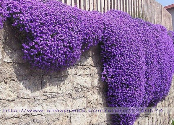 flower seeds 100 aubrieta seeds cascade purple flower