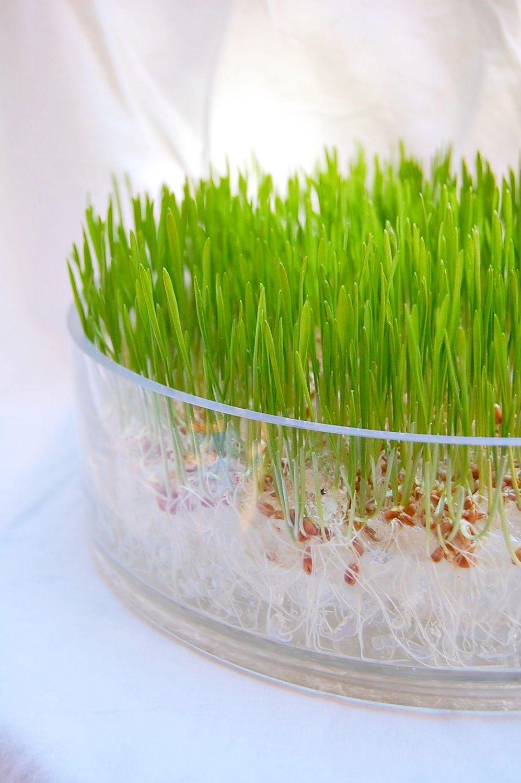 Wheatgrass soilless grow kit (my cats looooooove wheat