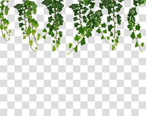 Vine Ivy Ivy Hanging Vines Green Plants Illustration Transparent Background Png Clipart Hanging Vines Plant Illustration Plants