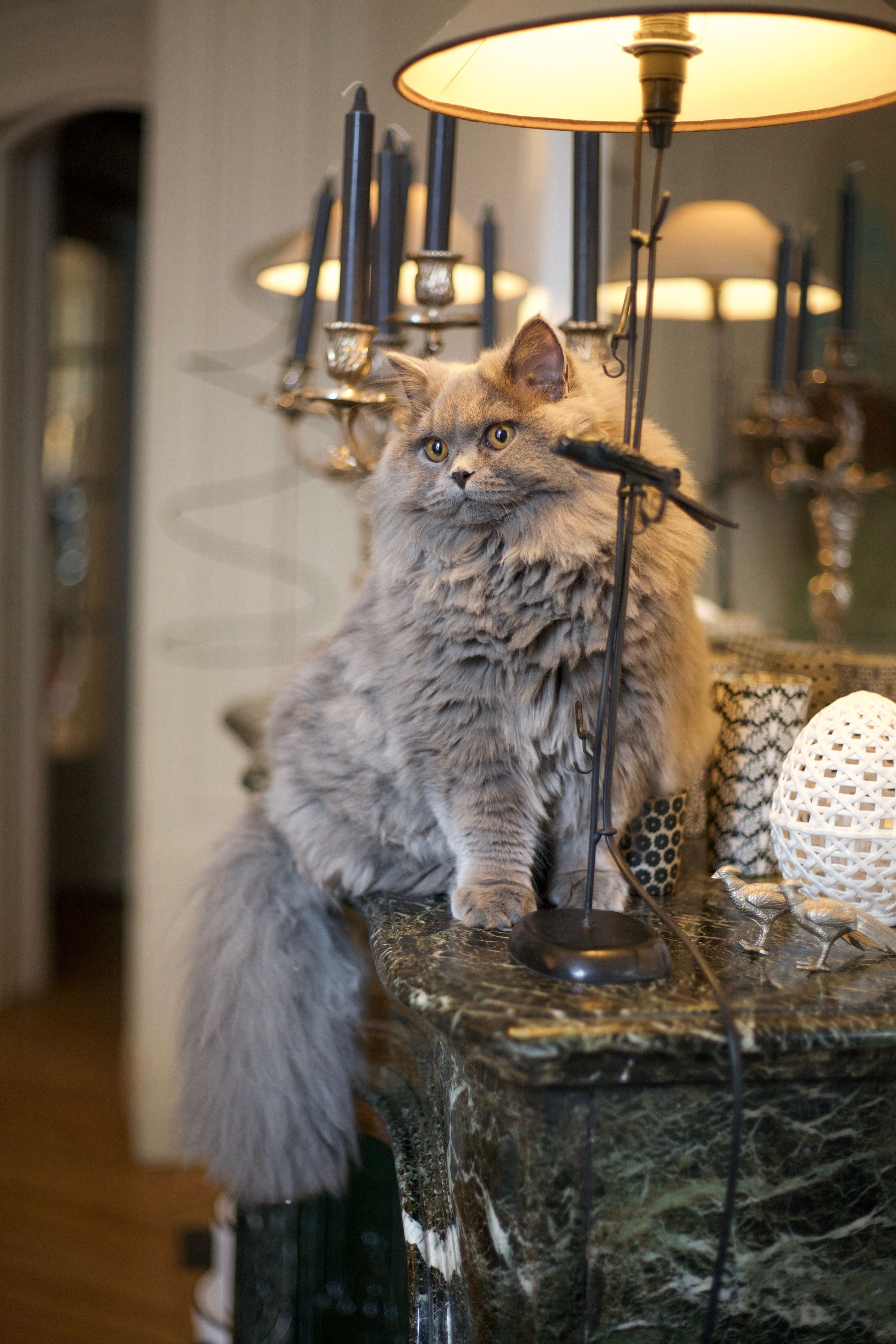 Siberian Kittens For Sale And Siberian Cats For Sale From Siberian Cat Breeder With Over 14 Siberian Cats For Sale Siberian Kittens Siberian Kittens For Sale