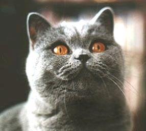 Uschi Lichter S British Shorthair British Shorthair British Shorthair Cats Cat Love