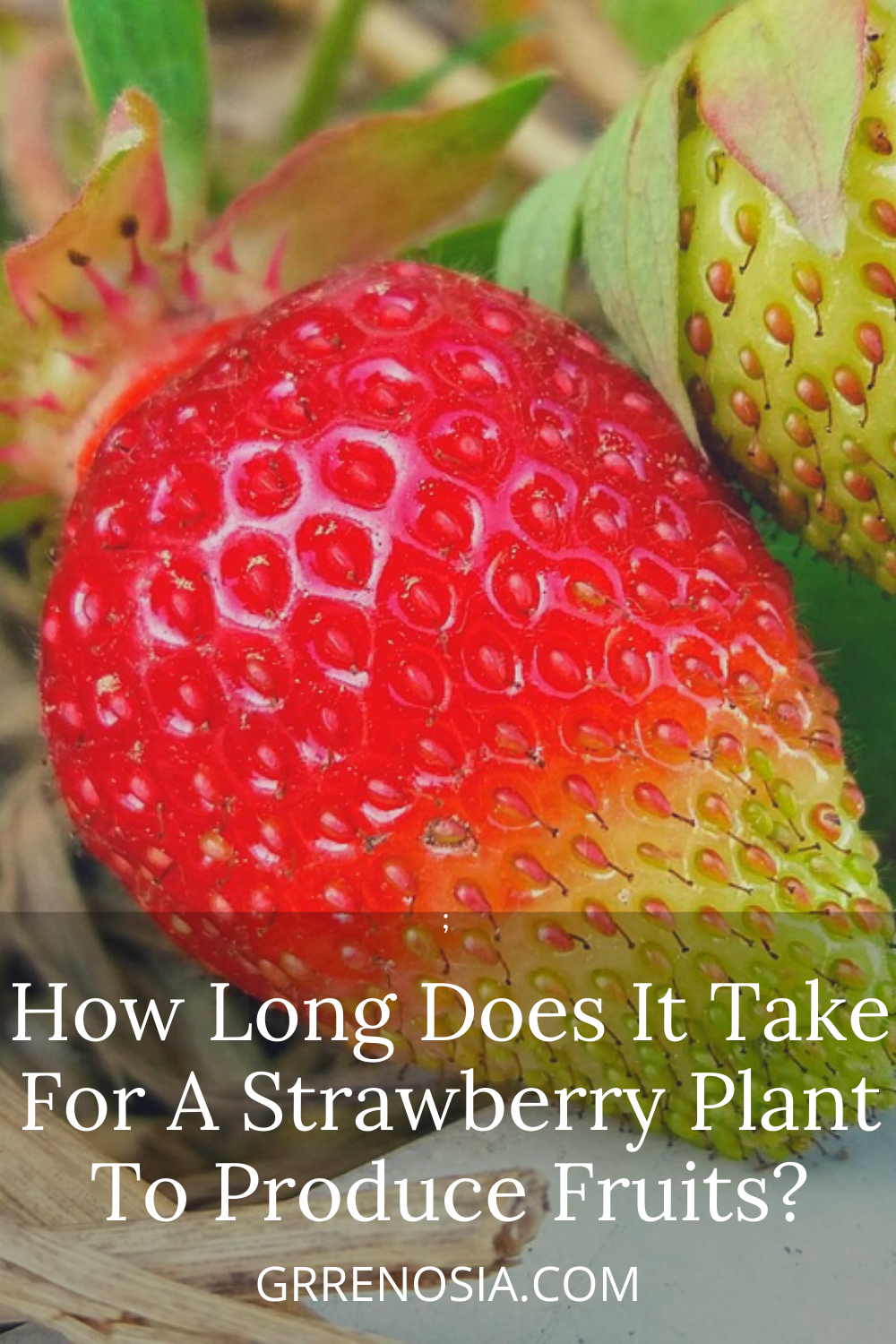 How Long Does It Take For A Strawberry Plant To Produce Fruits In 2020 Strawberry Plants Strawberry Plant Care Strawberry