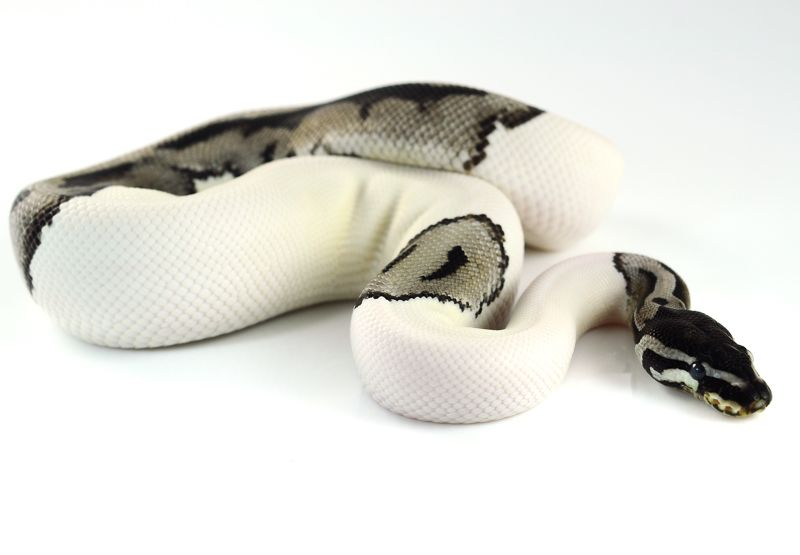 Imgs For u003e Lightning Pied Ball Python  sc 1 st  Pinterest & Axanthic Pieds - SPECIAL OFFER-axanthic_pied_male_dsc_6453.jpg ...