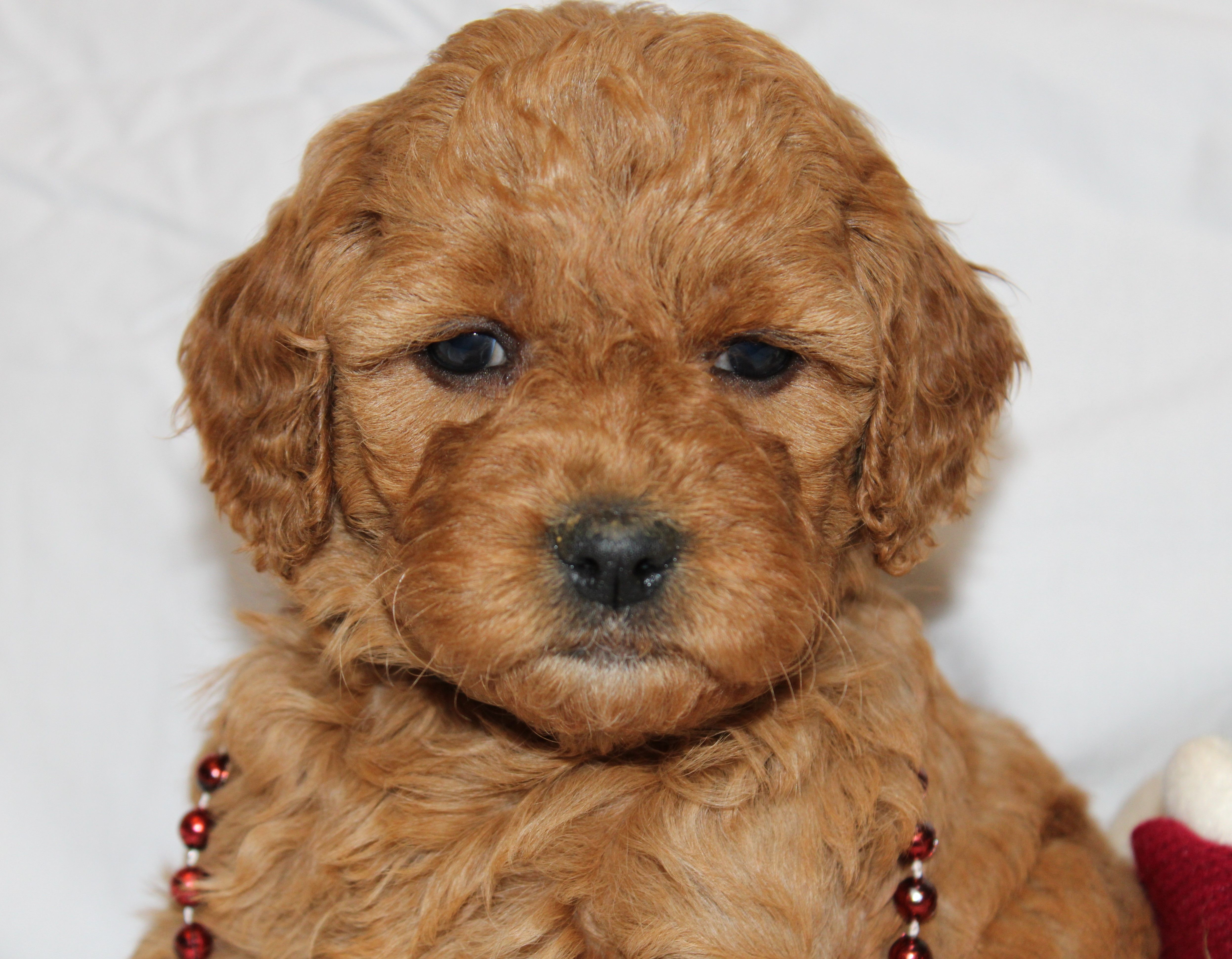 Puppies for Sale Mini goldendoodle puppies, Puppies
