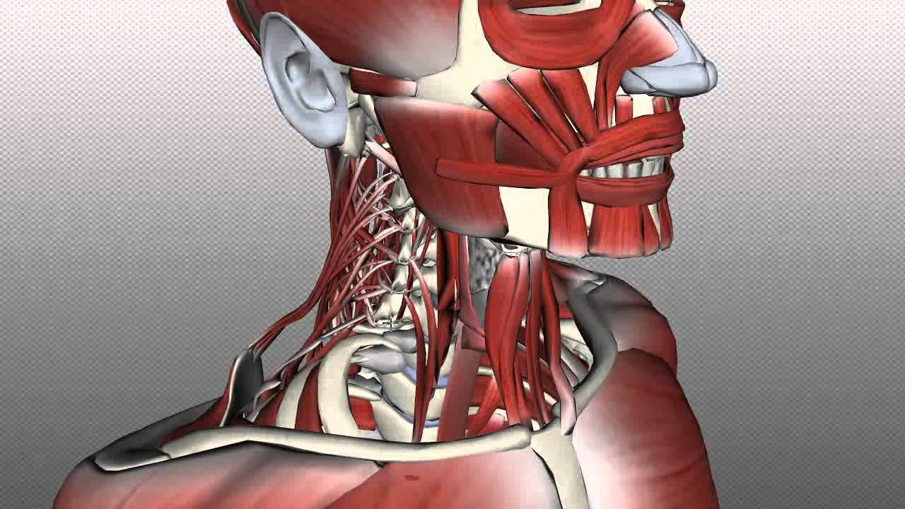 Vocal Anatomy: Anatomy Zone Neck Muscles: Posterior Triangle ...