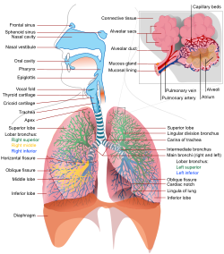 A complete, schematic view of the human respiratory system with their parts and functions