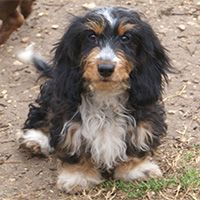 Bates Is A Black Tan Piebald Silky Wirehair Dapple Dachshund
