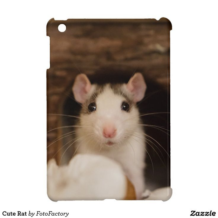 Quelle Mit Bildern Susse Ratten Ratten Hausratten