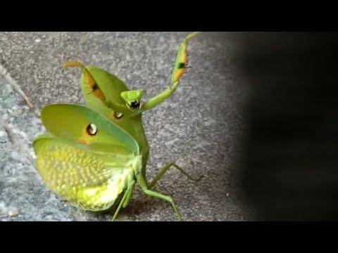 *** VIDEO ***  TOO FUNNY !!  Ozzy Man Reviews: Mantis vs Cat