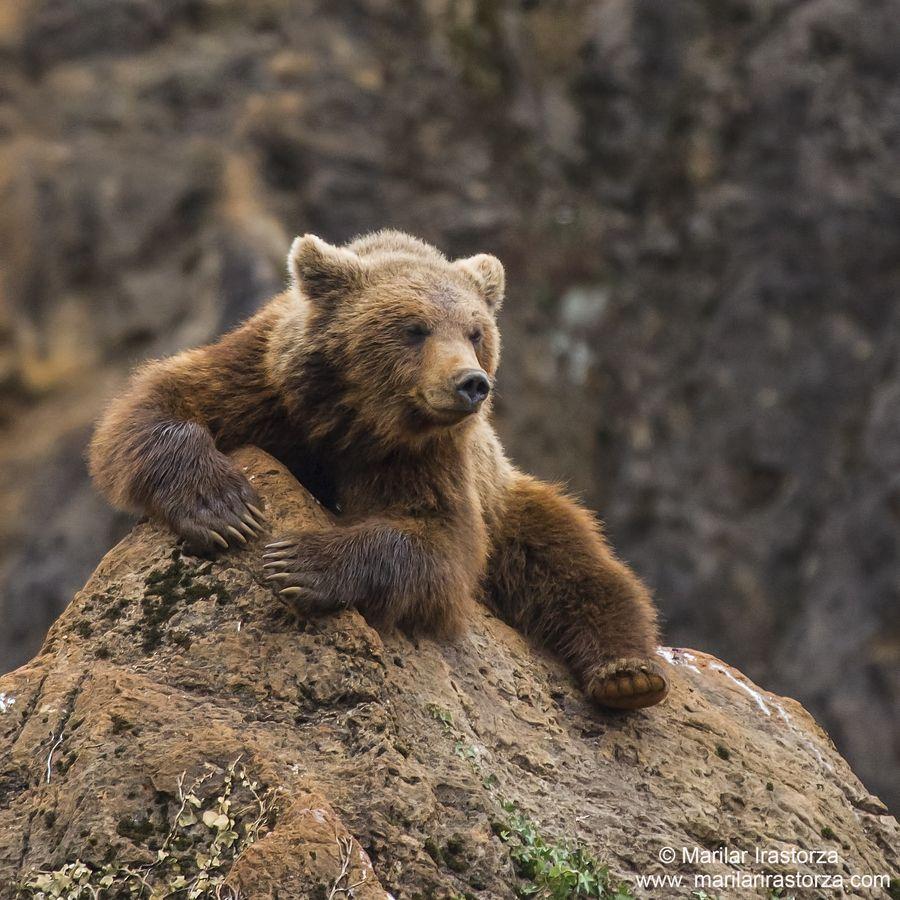 Osos En El Parque De La Naturaleza De Cabarceno Cantabria Spain Bear Bear Species Bear Hug