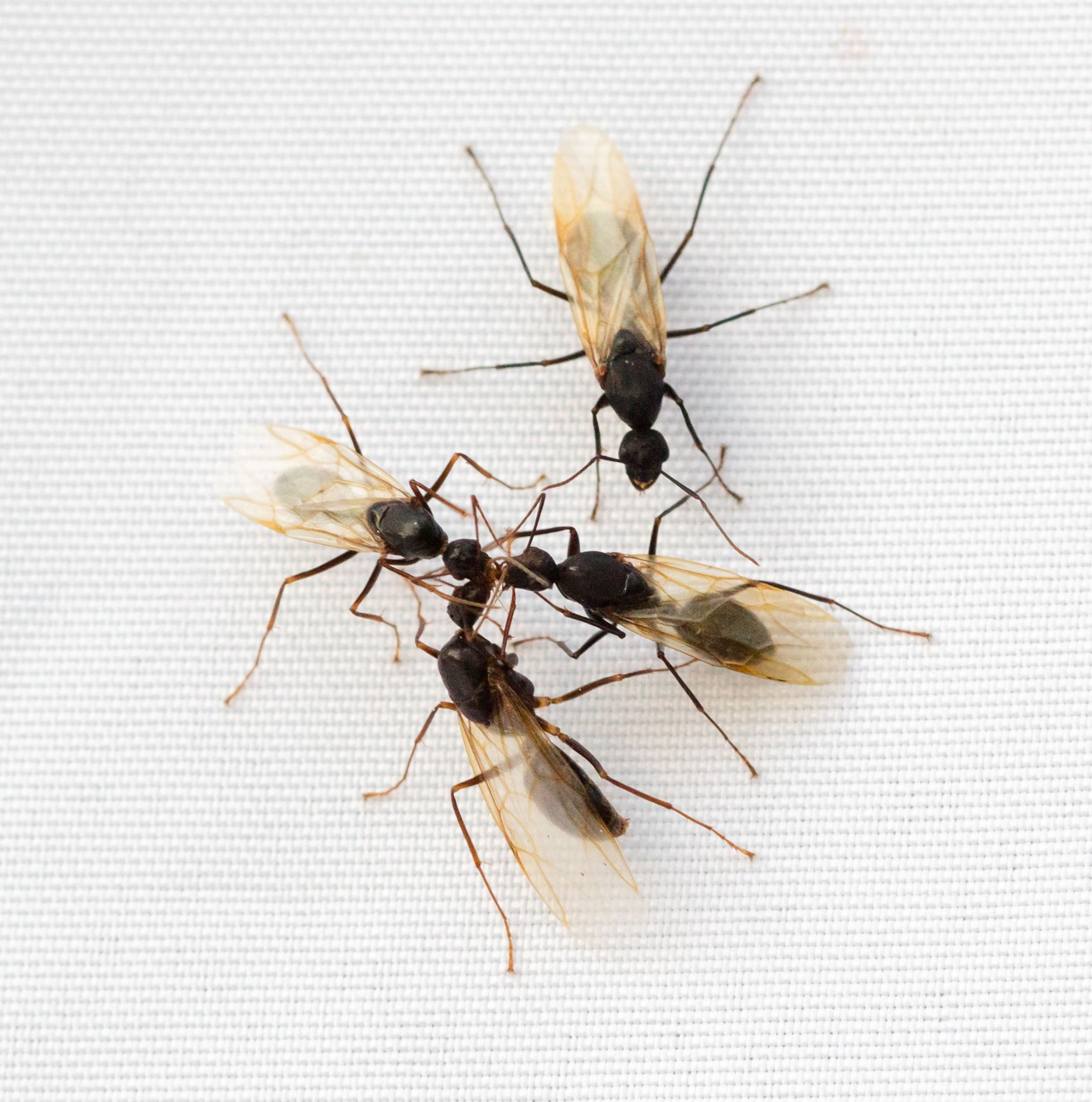 Winged Carpenter Ants Flying Ants In The Home Are Rarely A Good Sign And This Is Particularly True If T Ants With Wings Carpenter Ants With Wings Flying Ants