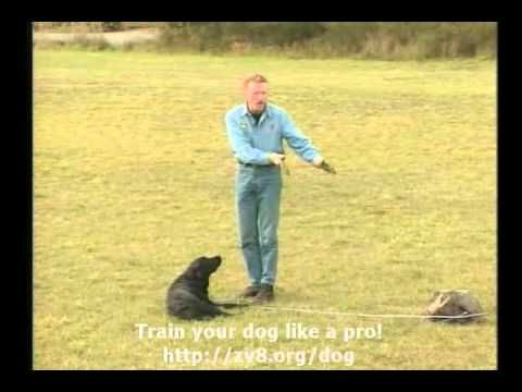 How To Train Your Dog Down From A Distance Avi Pets Dogs
